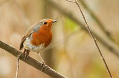 A stunning Robin Erithacus rubecula perched on a twig in a tree. A Robin Erithacus rubecula perched on a twig in a tree Royalty Free Stock Images