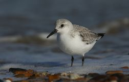 A Stunning Sanderling Calidris alba searching for food along the shoreline at high tide. A pretty Sanderling Calidris alba searching for food along the Stock Photo