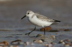 A Stunning Sanderling Calidris alba searching for food along the shoreline at high tide. A pretty Sanderling Calidris alba searching for food along the Royalty Free Stock Images