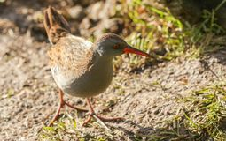 A stunning secretive Water Rail Rallus aquaticus searching for food along the bank of a lake. A secretive Water Rail Rallus aquaticus searching for food along royalty free stock image