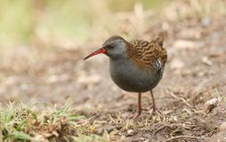 A stunning secretive Water Rail Rallus aquaticus searching for food along the bank of a lake. A secretive Water Rail Rallus aquaticus searching for food along royalty free stock photos