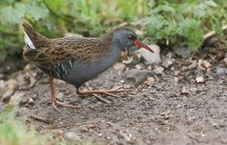 A stunning secretive Water Rail Rallus aquaticus searching for food along the bank of a lake. A pretty secretive Water Rail Rallus aquaticus searching for food stock image