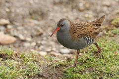 A stunning secretive Water Rail Rallus aquaticus searching for food along the bank of a lake. A pretty secretive Water Rail Rallus aquaticus searching for food royalty free stock image