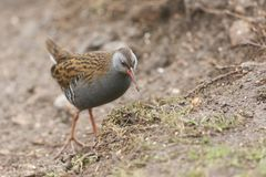 A stunning secretive Water Rail Rallus aquaticus searching for food along the bank of a lake. A pretty secretive Water Rail Rallus aquaticus searching for food royalty free stock photography