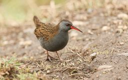 A stunning secretive Water Rail Rallus aquaticus searching for food along the bank of a lake. A secretive Water Rail Rallus aquaticus searching for food along stock images