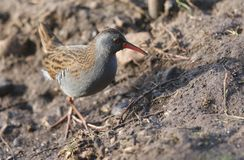 A stunning secretive Water Rail Rallus aquaticus searching for food along the bank of a lake. A secretive Water Rail Rallus aquaticus searching for food along royalty free stock photography