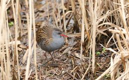 A stunning secretive Water Rail, Rallus aquaticus searching for food in the reed bed along the bank of a lake. A secretive Water Rail, Rallus aquaticus stock photo