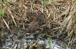 A stunning secretive Water Rail Rallus aquaticus searching for food in the reeds at the edge of a lake. A secretive Water Rail Rallus aquaticus searching for stock photo