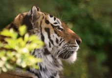Siberian Tiger / panthera tigris altaica in Profile royalty free stock images
