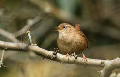A stunning singing Wren Troglodytes troglodytes perched on a branch in a tree. A pretty singing Wren Troglodytes troglodytes perched on a branch in a tree stock photos