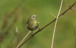 A stunning  Siskin Carduelis spinus perched on the stem of a plant. A pretty Siskin Carduelis spinus perched on the stem of a plant Stock Photography
