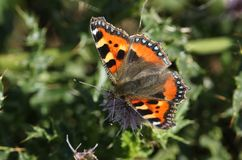 A pretty Small Tortoiseshell Butterfly Aglais urticae nectaring on a thistle flower. royalty free stock photo