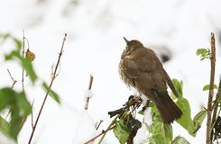 A stunning Song Thrush Turdus philomelos perched on a bush in a Snowstorm. Royalty Free Stock Photos