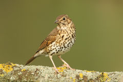 A stunning Song Thrush Turdus philomelos perched on a lichen covered branch. Royalty Free Stock Photography