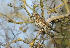 A stunning Song Thrush Turdus philomelos perched on a lichen covered branch in a tree. A Song Thrush Turdus philomelos perched on a lichen covered branch in a Stock Image