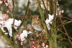 A stunning Song Thrush Turdus philomelos perched on a Mountain Ash Tree in a Snowstorm. It has been feeding on the berries. A Song Thrush Turdus philomelos Royalty Free Stock Photo
