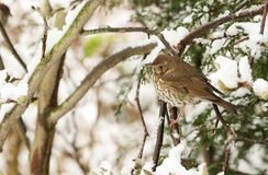 A stunning Song Thrush Turdus philomelos perched on a Tree in a Snowstorm. The branches are covered in Snow. A Song Thrush Turdus philomelos perched on a Tree Stock Images