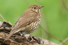 A beautiful Song Thrush Turdus philomelos perching on a log. A stunning Song Thrush Turdus philomelos perching on a log Stock Image