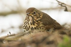 A stunning Song Thrush Turdus philomelos searching for food to eat on the ground in the undergrowth. A pretty Song Thrush Turdus philomelos searching for food Royalty Free Stock Photography