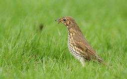 A beautiful Song Thrush Turdus philomelos standing in the long grass with a worm in its beak which it has just captured. A stunning Song Thrush Turdus stock photography