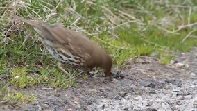 A stunning Song Thrush, Turdus philomelos, wiping off the slime of a slug before eating it.