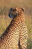 Stunning spots. A cheetah`s Acinonyx jubatus golden fur and black spots are radiant in the afternoon light. Ol Pejeta Conservancy, Kenya Stock Image