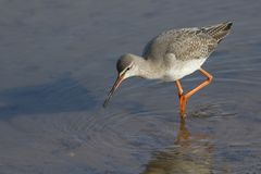 A stunning Spotted Redshank Tringa erythropus searching for food in a sea estuary. A pretty Spotted Redshank Tringa erythropus searching for food in a sea Royalty Free Stock Image