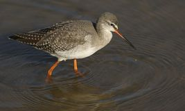 A stunning Spotted Redshank Tringa erythropus searching for food in a sea estuary. A pretty Spotted Redshank Tringa erythropus searching for food in a sea Royalty Free Stock Photo