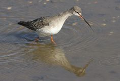 A stunning Spotted Redshank Tringa erythropus searching for food in a sea estuary. A Spotted Redshank Tringa erythropus searching for food in a sea estuary Stock Photos