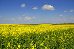 Endless blooming Canola fields against blue sky Royalty Free Stock Photos