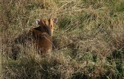 A stunning stag Muntjac Deer Muntiacus reevesi curled up resting in the long grass enjoying the winter sunshine. A stag Muntjac Deer Muntiacus reevesi curled up Stock Image