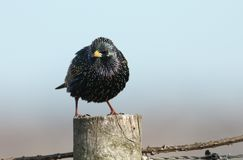 A stunning Starling Sturnus vulgaris perched on a wooden post. An impressive Starling Sturnus vulgaris perched on a wooden post Royalty Free Stock Images