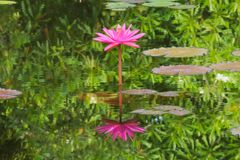 A stunning, straight and symmetrical, pink lotus, in full bloom, and its perfect reflection, in a large pond. stock photography