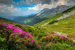 Colorful pink rhododendron flowers in the mountains,Bucegi, Carpathians, Romania. Stunning summer landscape, amazing colorful pink rhododendron mountain flowers royalty free stock images