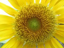 Vibrant Mighty Sunflower. A stunning Sunflower found on a walk in Thailand royalty free stock photo