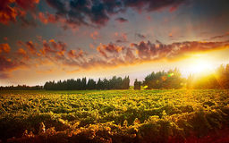 Stunning sunset landscape of grape field Stock Photo