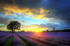 Stunning sunset over lavender fields. Beautiful image of stunning sunset with atmospheric clouds and sky over vibrant ripe lavender fields in English countryside stock images
