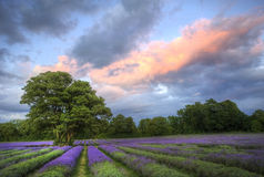 Stunning sunset over lavender fields. Beautiful image of stunning sunset with atmospheric clouds and sky over vibrant ripe lavender fields in English countryside Royalty Free Stock Images