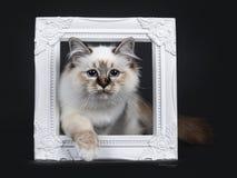 Stunning tabby point Sacred Birman cat kitten,