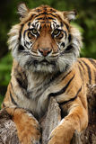 Stunning Tiger Closeup. Sumatran Tiger laying on a tree stump and watching the viewer Stock Image