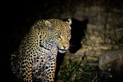 Leopard on Night Watch in Kruger royalty free stock image