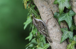 A stunning Treecreeper, Certhia familiaris, perched on a branch surrounded by ivy leaves. Stock Photo