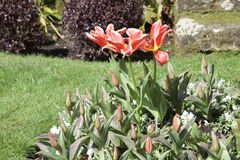 Stunning tulip; open petals and many closed buds reaching for sunlight royalty free stock image