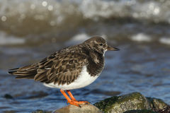 A stunning Turnstone Arenaria interpres perched on a rock on the shoreline at high tide. Stock Photo