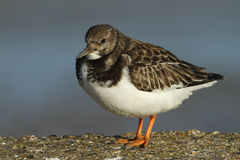 A stunning Turnstone Arenaria interpres perched on a wall on the shoreline at high tide. royalty free stock images