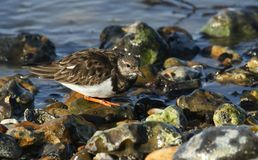 A stunning Turnstone Arenaria interpres searching for food on the shoreline at the coast. A Turnstone Arenaria interpres searching for food on the shoreline at Royalty Free Stock Photo
