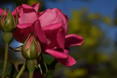 Two buds and three red rose flowers. Stunning two buds and three red rose flowers Stock Photos