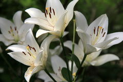 Stunning variety of seasonal Tiger Lilies. In Summertime landscaped garden Royalty Free Stock Photo