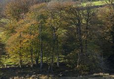 Stunning vibrant Autumn Fall forest woodland in Dartmoor with go. Beautiful vibrant Autumn Fall forest woodland in Dartmoor with gorgeous sunlight hitting trees royalty free stock images