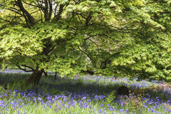 Stunning vibrant landscape image of blubell woods in English cou Stock Photography